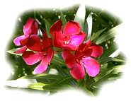 fleurs laurier rose