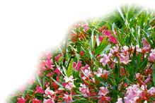 buisson de laurier