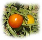 la tomate est fréquemment touchée
