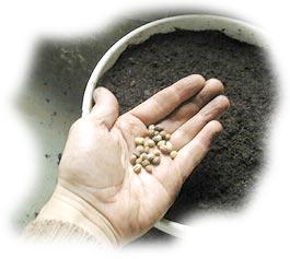 semis de graines de capucine en pot