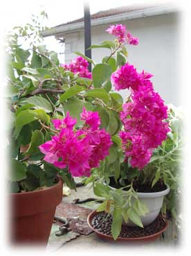 bougainvillée en pot