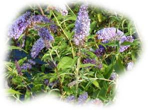 buddleia bleu