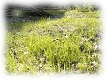 pelouse & gazon