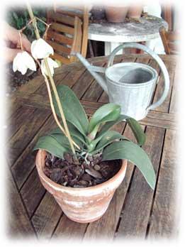 phalaenopsis fanée