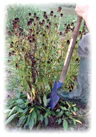 Jardinage en octobre: fleurs, fenêtre et balcon