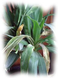 yucca au feuillage abiimé
