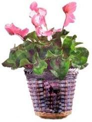Garder fleuries les plantes des fêtes