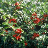 houx avec ses fruits rouges