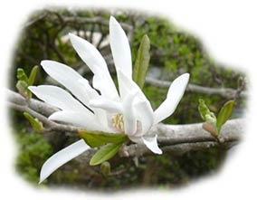 fleur de magnolia étoilé