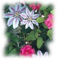 Plantes Grimpantes Rosier_clematite