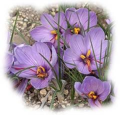 crocus sativus - safran - (D.R)