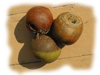 pommes atteintes par la moniliose