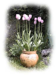 tulipes montauban tarn et garonne jardin montauban tarn et garonne jardiner montauban tarn