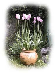 potée de hautes tulipes