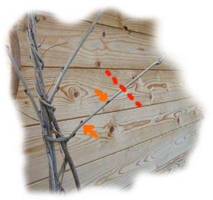 taille à 2 yeux des branches latérales de la glycine