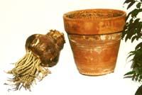 amaryllis pot et bulbe