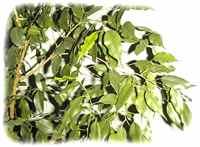 Ficus benjamina natasja forum fr for Ficus benjamin perde foglie