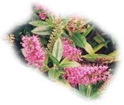 Conseils de jardinage : la taille des arbustes d'ornement